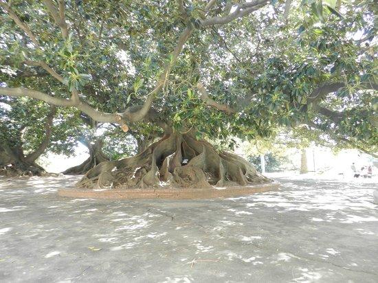 Recoleta: Árvore Gomero, Ricoleta