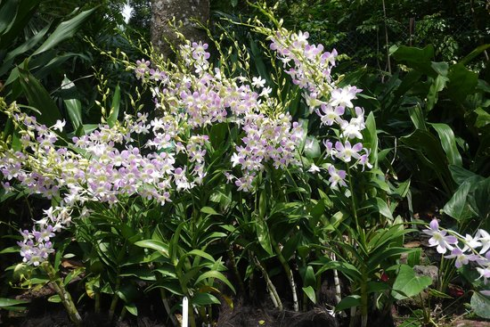 Large Cluster Of Orchids Along The Path