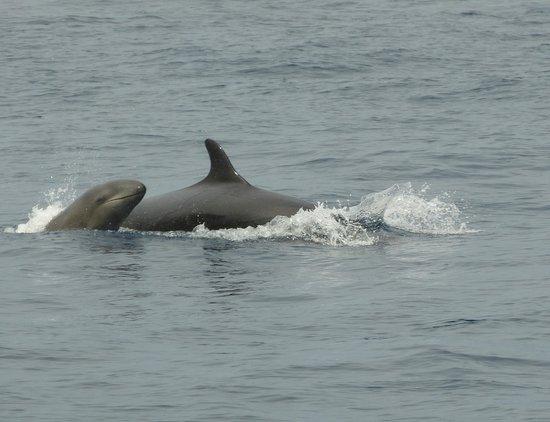 Azores Whale Watching Terra Azul : False Killer whale & baby