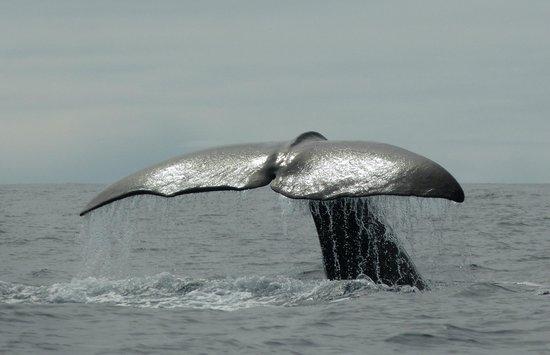 Azores Whale Watching Terra Azul : Sperm whale