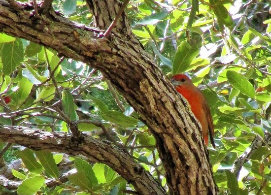 Ramsey Canyon Preserve: Hepatic tanager