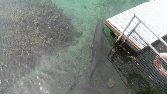 InterContinental Moorea Resort & Spa: Dolphin in the enclosure.