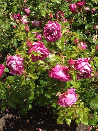 Victoria Esplanade Gardens: One of my favourite roses in the garden