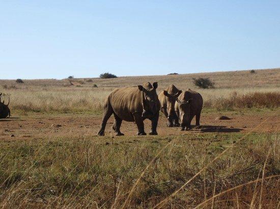 Rhino and Lion Nature Reserve: Rhinos