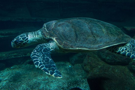 National Aquarium: Marvel at the size of the Hawksbill Sea Turtle