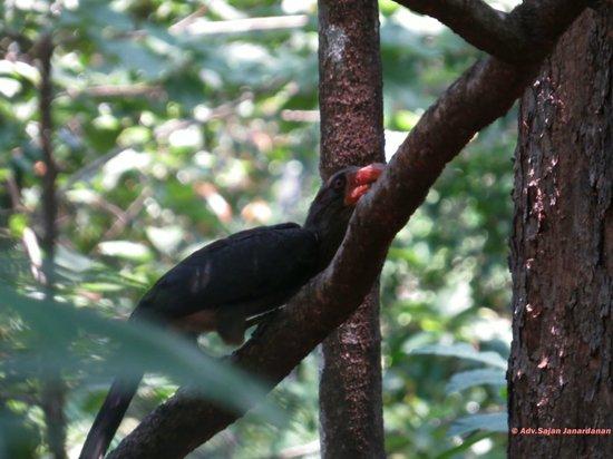 Shenduruny Wildlife Sanctuary: Malabar Grey Hornbill