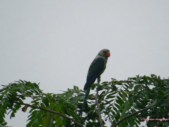 Shenduruny Wildlife Sanctuary: Malabar Parakeet