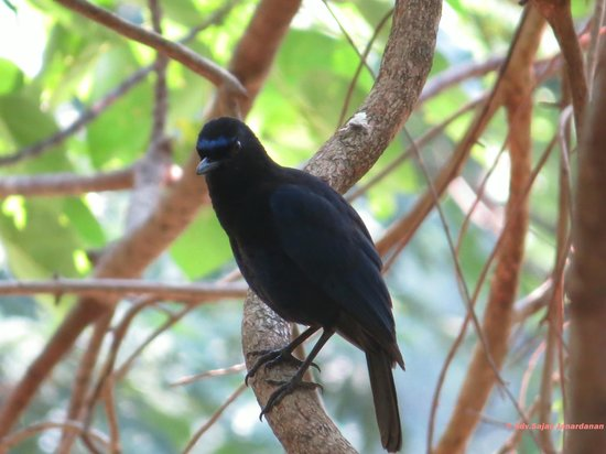 Shenduruny Wildlife Sanctuary: Malabar Whistling thrush