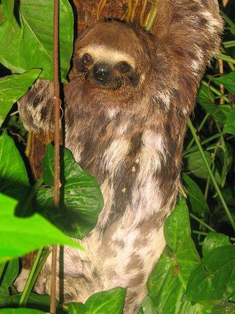 Tambopata Research Center : Three Toed Sloth