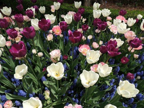Fellows Riverside Gardens: tulips galore