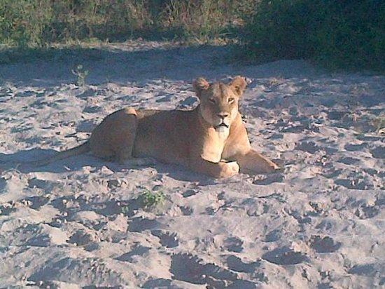 Chobe Safari Lodge : Lion during Game drive