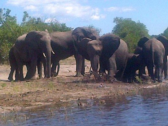 Chobe Safari Lodge : Elepahants during Boat cruise