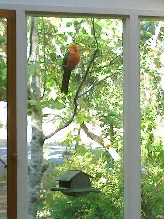 Ashwood Cottages: King parrot viewed from within the Fleurbaix Cottage sunroom