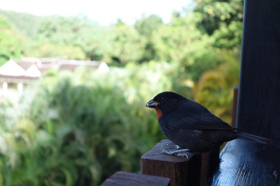 Boucan by Hotel Chocolat : Our morning visitor Rusty