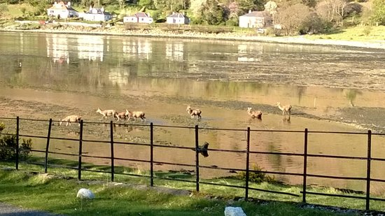 Lochranza Youth Hostel: View of deer going to bathe from the garden