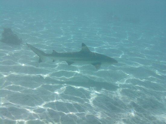 InterContinental Moorea Resort & Spa : Black tipped shark just offshore