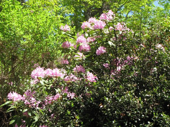 The Blowing Rock: The rhododendrons were beautiful.