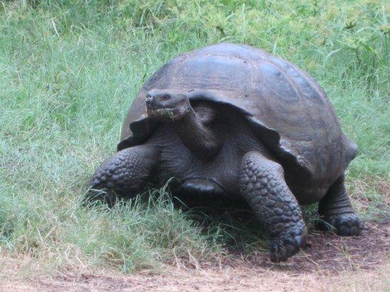 Reserva El Chato: Giant Tortoise