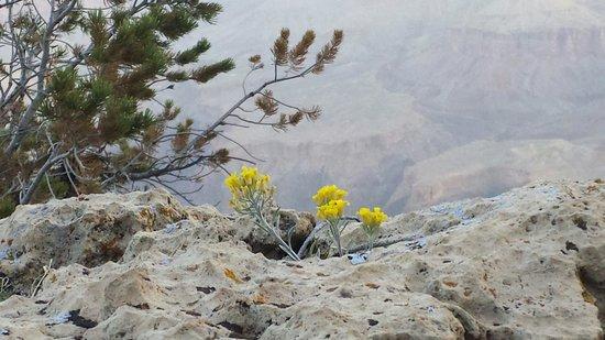 Rim Trail: Sunrise flowers