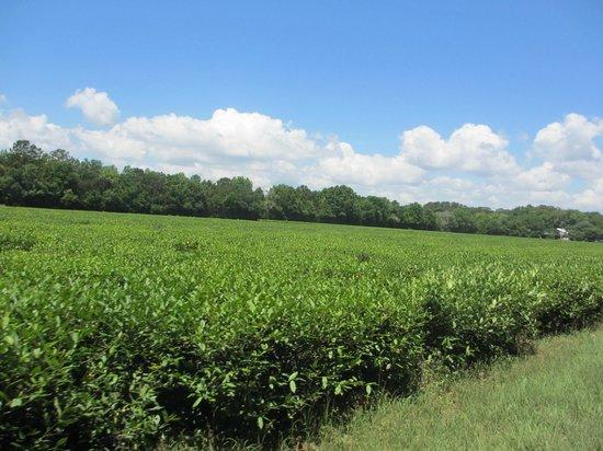 Charleston Tea Plantation: Gorgeous day