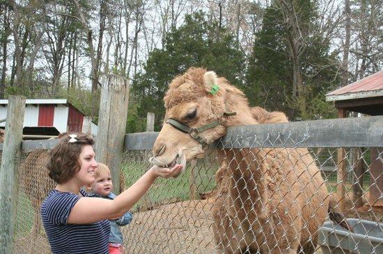 Friendly camels