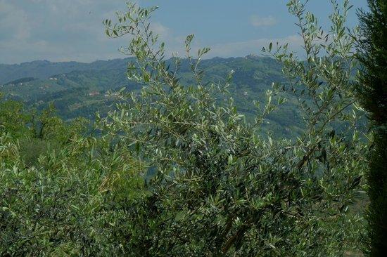 San Gimignano Bell Tower: Olivträd i förgrunden och landskapet Toscana i bakgrunden