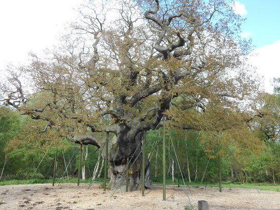Sherwood Forest: The Major Oak