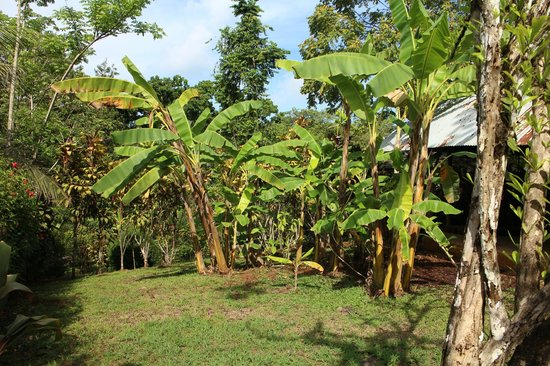 Phidjie Lodge : les bananiers