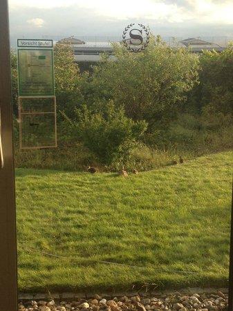 Duck in the garden outside the window
