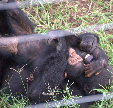 Ngamba Island Chimpanzee Sanctuary: little sara joking with adults.. tenerissima