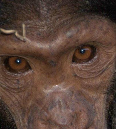 Ngamba Island Chimpanzee Sanctuary: eyes