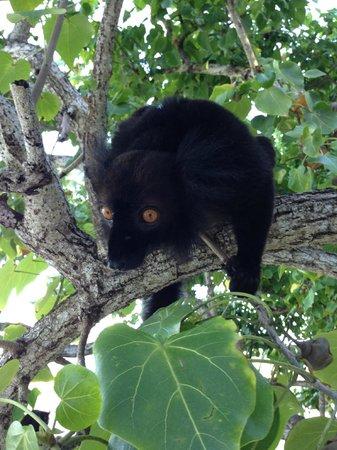 VOI Amarina resort: Lemure