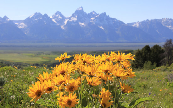 Wildlife Expeditions of Teton Science Schools : Early summer wildflowers photographed on a Wildflower & Wildlife Hiking Expedition.