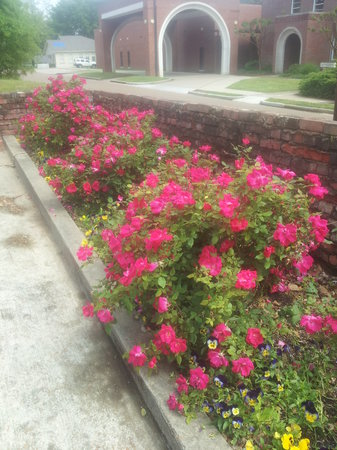 Maple Terrace Inn : Lot of roses