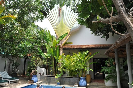 maison557: Fan Palm growing outside our Bungalow