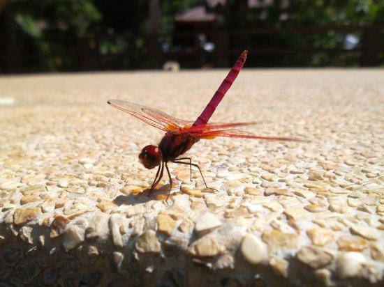 Baan Krating Pai Hotel: Libellule rouge proches de la piscine