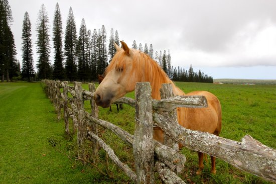 Four Seasons Resort Lana'i, The Lodge at Koele: Horses in Nearby Pasture