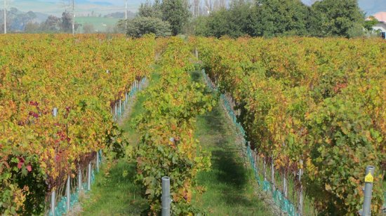 Riverbend Family Lodge : Hawkes Bay vineyard in Autumn