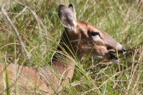 Corkscrew Swamp Sanctuary: deer