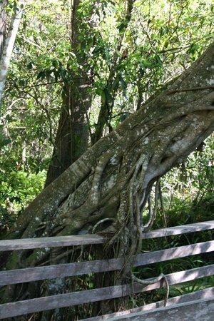 Corkscrew Swamp Sanctuary: strangling vine