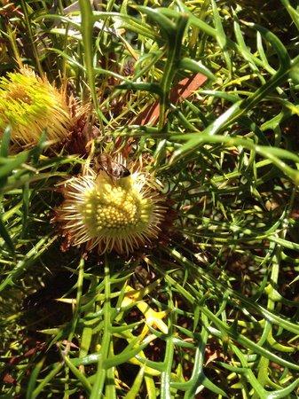 Paul's Place Wildlife Sanctuary : Banksia