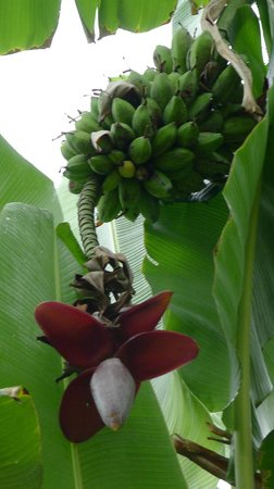 Blue River Resort & Hot Springs : Bananas and flower