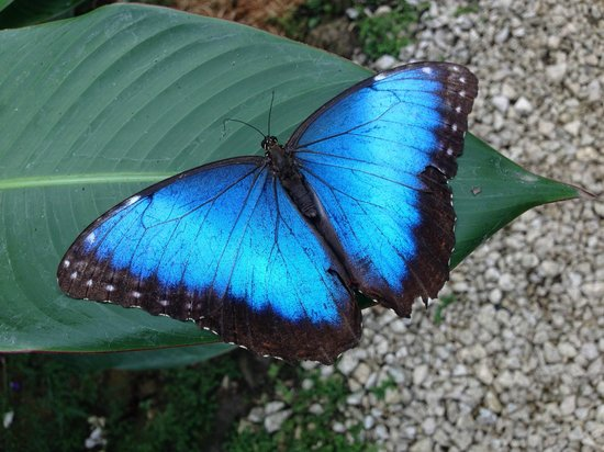 Blue River Resort & Hot Springs : Blue Morpho Butterfly