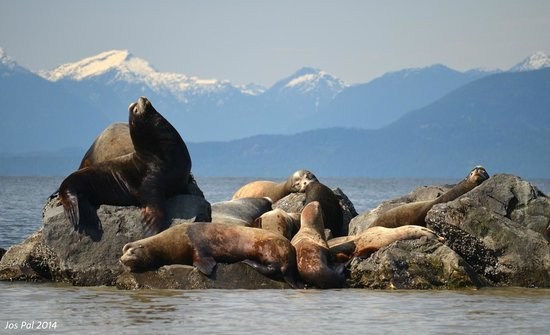 Steveston EcoTours: Sea Lions, with the North Shore Mountains in the background