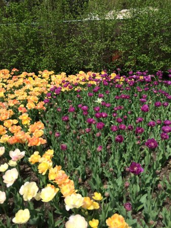 The Arboretum at Penn State : Tulips