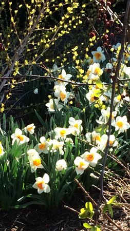 The Arboretum at Penn State : Daffodils