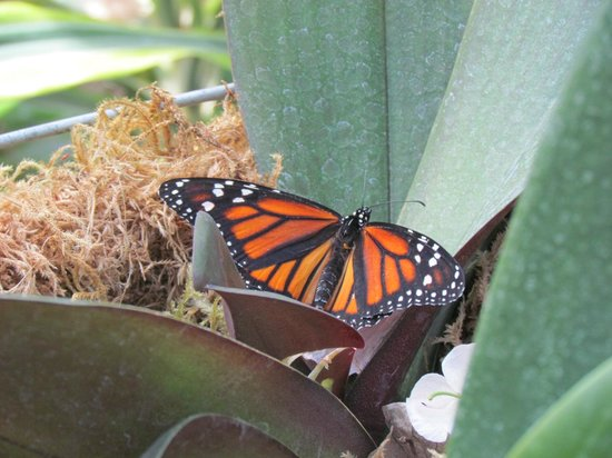 The Calgary Zoo: ผีเสื้อ Monarch