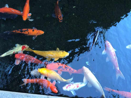 The Westin Kaanapali Ocean Resort Villas: The Koi Pond