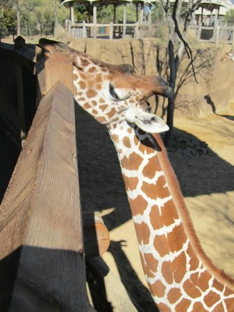 Dallas Zoo : Giraff looking for someone to feed her