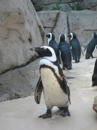 Dallas Zoo : Penguins